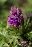 My Purple Hyacint