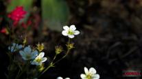 Mid Summer´s Bloom 12